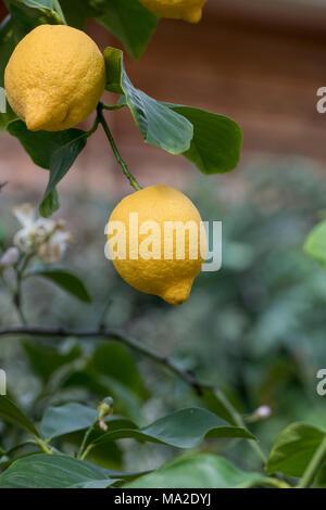 Citrus x limon 'Four seasons' . Lemon 'Four Seasons' fruit on the tree inside the glasshouse at RHS Wisley gardens, Surrey, UK - Stock Photo