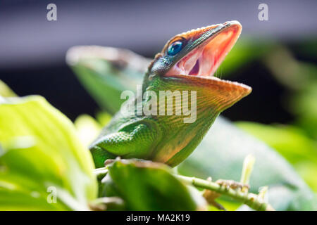 The Knight anole, Anolis equestris, is a species of lizard in the Polychrotidae family, and the largest species of anole. Other common names include C - Stock Photo