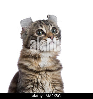 Head shot of lack tortie tabby American Curl cat / kitten looking funny isolated on white background - Stock Photo