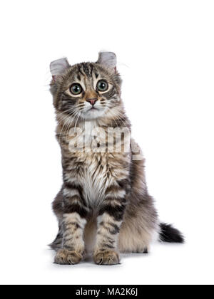 Black tortie tabby American Curl cat / kitten sitting isolated on white background - Stock Photo