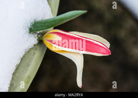 A red and yellow tulip in a plant pot in the snow - Stock Photo