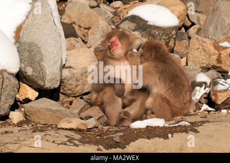Japanese macaque or snow japanese monkey (Macaca fuscata),Japan - Stock Photo