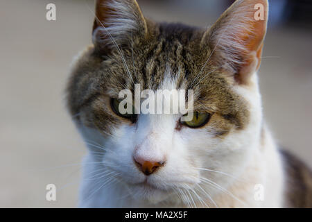 Close up of adult male tabby with green eyes and giant whiskers - Stock Photo