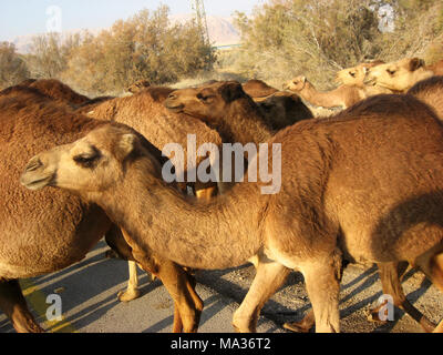 Camel herd in the Wilderness of Judea - Stock Photo