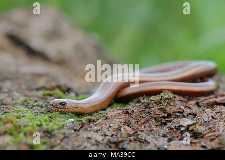 Slow Worm / Blindschleiche ( Anguis fragilis ) darting its tongue in and out, wildlife, Europe. - Stock Photo