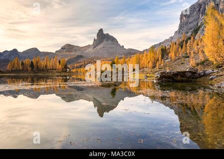 a yellow larch forest at Federa lake in autumn with Becco di Mezzodì on the background, Cortina d Ampezzo, Belluno, Dolomites, Veneto, Italy - Stock Photo