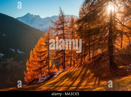 Sun light between larches in autumn. Bormio, Valtellina, Lombardy, Italy - Stock Photo