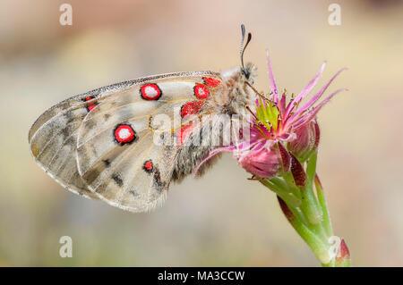 Small Apollo on the flower, Trentino Alto-Adige, Italy - Stock Photo