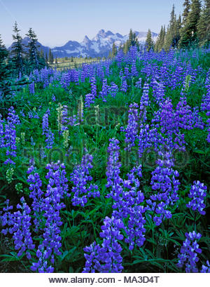 Wildflowers, Mount Rainier National Park, Washington - Stock Photo