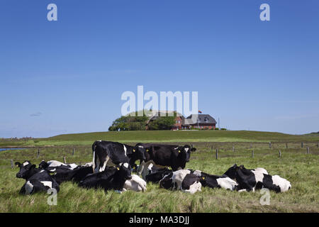 Cows in front of the terp on Hallig Langeneß, North Sea coast, Schleswig-Holstein Wadden Sea National Park, North Frisia, the North Frisians, Schleswig - Holstein, Germany, - Stock Photo