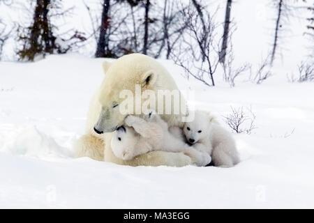 Polar Bear Mom and Cubs - Stock Photo