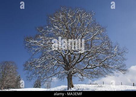 Oak in winter, Ohlstadt, Upper Bavaria, Bavaria, South Germany, Germany, - Stock Photo