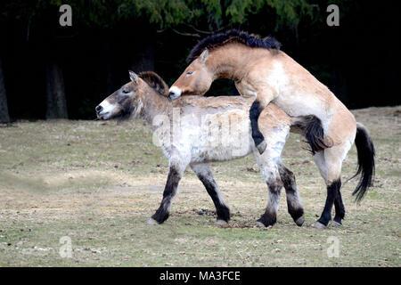 Asian Przewalski's horses mating, Equus ferus przewalskii - Stock Photo