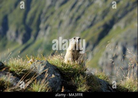 Alpine marmot on mountain pasture, Marmota marmota - Stock Photo