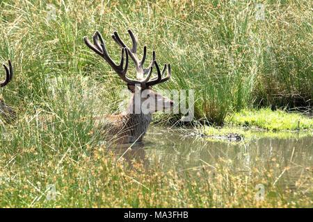 Red deer in a brook, Cervus elaphus - Stock Photo