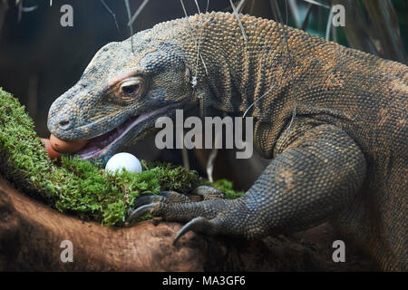 London, UK. 29th March, 2018. Easter egg treats for the Animals at ZSL London Zoo, Regents Park. 29th March 2018   Here the kimono dragon was treated to duck, chicken and quail eggs. Credit: Thomas Bowles/Alamy Live News - Stock Photo
