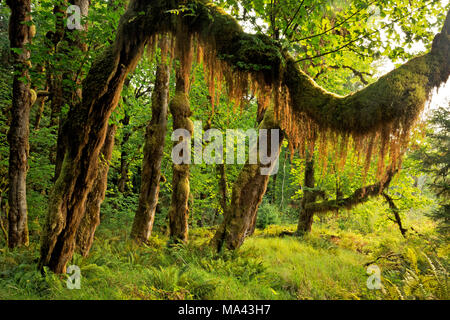 WA13959-00...WASHINGTON - Moss hanging off a branch of a big leaf maple tree viewed from the Queets River Trail in Olympic National Park. - Stock Photo