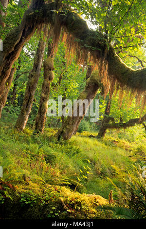WA13960-00...WASHINGTON - Moss hanging off a branch of a big leaf maple tree viewed from the Queets River Trail in Olympic National Park. - Stock Photo