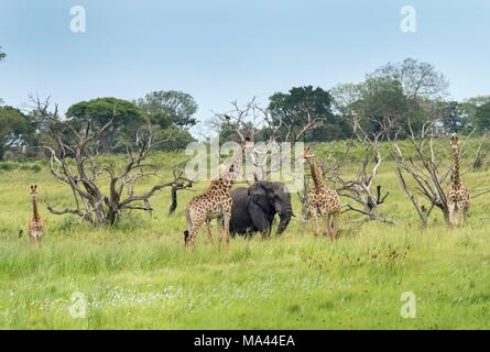 Giraffes and an elephant in the iSimangaliso Wetland Park, a wildlife park in South Africa - Stock Photo