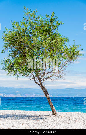 Tilted young olive tree on the pebble beach at noon - Stock Photo