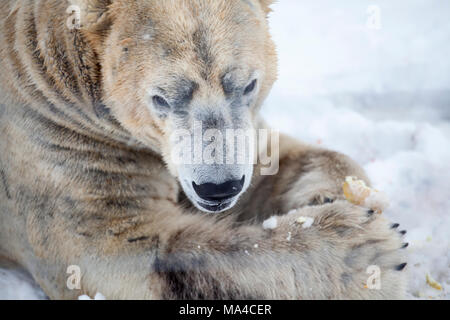 Arktos, one of the polar bears at the highland wildlife park at Kincraig in the Highlands of Scotland - Stock Photo