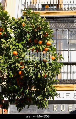 Orange tree and Rue 8: shop on Plaza de San Francisco, Sevilla, Andalusia, Spain - Stock Photo