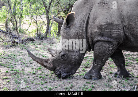 African white rhinoceros grazing in Kruger Park, South Africa - Stock Photo