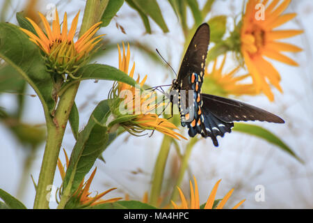 Pipevine Swallowtail Butterfly, Battus philenor, shot in Oklahoma. - Stock Photo