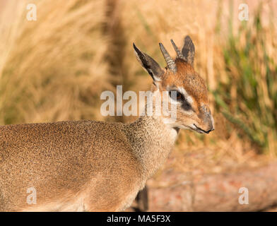 Kirk's Dik-Dik small African antelope closeup portrait in Serengeti of Africa - Stock Photo