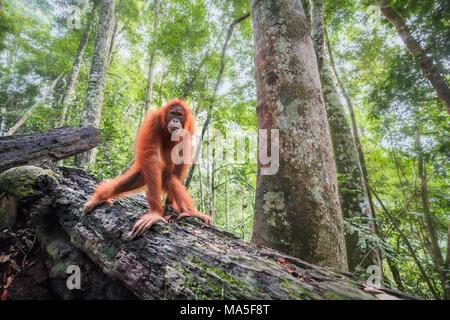 Sumatran orangutan, Pongo Abelii, Gunung Leuser National Park, Sumatra, Indonesia - Stock Photo