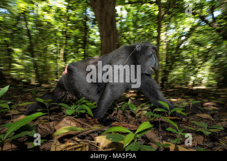Black crested macaque, macaca nigra, Tangkoko National Park, Northern Sulawesi, Indonesia - Stock Photo