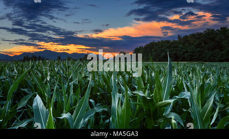 Sunset on cornfield, Como province, Lombardy, Italy, Europe - Stock Photo
