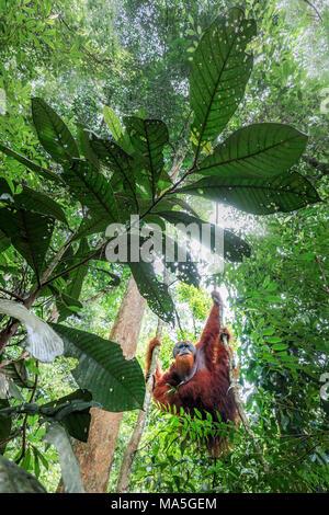 Sumatran orangutan climbing a tree in Gunung Leuser National Park, Northern Sumatra. - Stock Photo