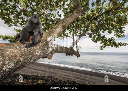 Black crested macaque (macaca nigra) in Tangkoko National Park, Northern Sulawesi, Indonesia, Asia - Stock Photo