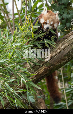 Red panda eats on a tree, the red panda (Ailurus fulgens), also called the lesser panda, the red bear-cat, and the red cat-bear, is a mammal native to - Stock Photo