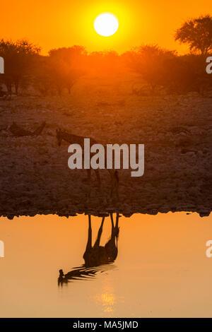 Giraffe reflecting in the water of a waterhole, Okaukuejo Rest Camp ,  Etosha National Park, Namibia - Stock Photo