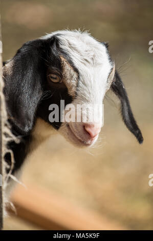 Issaquah, Washington, USA.  12 day old mixed breed Nubian and Boer goat kid curiously looking out behind a corner - Stock Photo