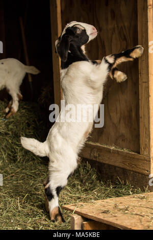 Issaquah, Washington, USA.  12 day old mixed breed Nubian and Boer goat kid playing with a barn door - Stock Photo