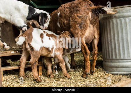 Two 12 day old mixed breed Nubian and Boer goat kids nursing as another looks on - Stock Photo