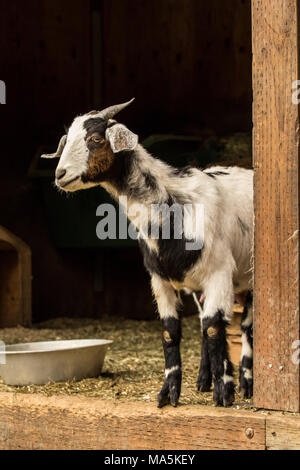 Adult doe mixed breed Nubian and Boer goat looking out from the barn - Stock Photo