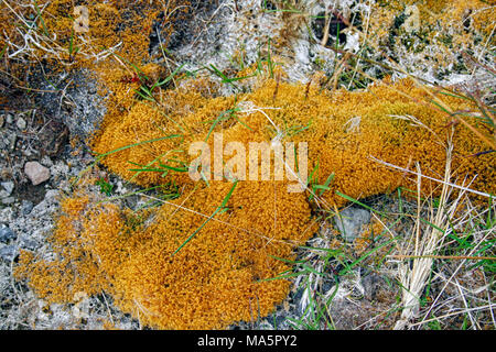 Beautiful soft and bright copper colored moss on lava soil - Stock Photo