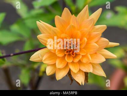 A macro shot of an orange dahlia bloom. - Stock Photo
