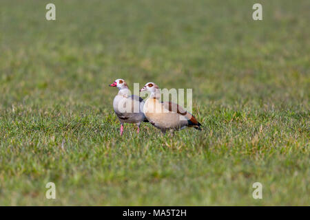 two natural egyptian nile geese (alopochen aegyptiaca) in green meadow - Stock Photo