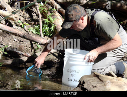 Tim Hovey, a senior environmental scientist, specialist, with the California. ANGELES NATIONAL FOREST, Calif. (April 14, 2017) - Tim Hovey, a senior environmental scientist, specialist, with the California Department of Fish and Wildlife (CDFW), releases unarmored threespine sticklebacks into the wild. A team of biologists and scientists from the U.S. Fish and Wildlife Service and the CDFW released 151 unarmored threespine sticklebacks into new habitat after conducting an emergency rescue of the fish late last year in response to a fire. Unarmored threespine sticklebacks are a federally and st - Stock Photo