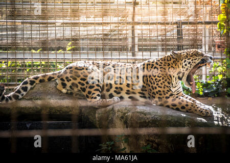 Jaguar yawning in Barcelona's zoo. The jaguar or Panthera onca is a wild cat species and the only native to the Americas. - Stock Photo
