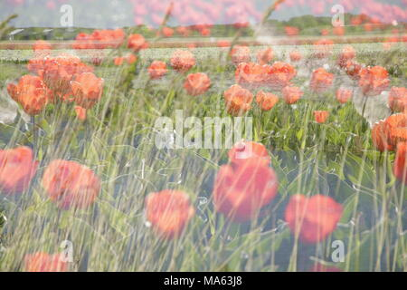 colorful tulips in a tulipfield in double exposure - Stock Photo