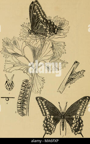 . Elementary entomology . Fig. 263. The black swallowtail butterfly {Papilio polyxenes). (Slightly reduced) rt, egg; b, caterpillar; c, front view of head with osmateria protruded; d, chrysalis; e,f, adult. (After Webster) 176