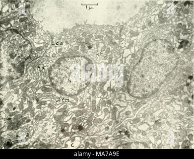 . Electron microscopy; proceedings of the Stockholm Conference, September, 1956 . Fig. I. Survey picture of mouse thyroid cells with the follicle (uppermost), cell boundary (CB), mitochondria (M). intra- cellular cytoplasmic membranes (CM), nuclei (N) and capillary (C). Magnification 12,000. - Stock Photo
