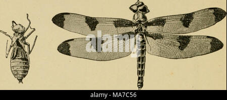 . Elementary entomology . Fig. 132. Dragon-fly [Libelhdapulchella). (Slightly reduced) A, last nymphal skin ; i?, adult. (After Folsom) Summary of the Nerve-Winged Insects and their Relatives A. With complete metamorphosis: Order Nenroptera. Wings equal; numerous cross veins. The dobsons {Sialidae). Larvae aquatic. The aphis-lions {Chrysopidae). Feed on aphides, etc. The ant-lions [Afyr/neleonidae). Larvae make pits in soil. Order Mecoptera. Scorpion-flies. Elongate head, and tip of abdomen fang- like. Larvae live underground. Order Trichoptera. Caddis-flies. Wings with few cross veins and clo - Stock Photo