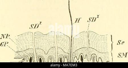 """. Einführung in die vergleichende Anatomie der Wirbeltiere, für Studierende . sten^), deren Bälge von venösen, zwischen der äußeren und inneren Follikelschicht liegenden Bluträumen umgeben, und die mit sehr starken Nerven (N. trigeminus) versehen sind. Diese """"Sinushaare"""" sind schwellkörperhaltig. Auch die gewöhnlichen Haare fungieren nebenbei als Sinnesorgane, denn auch sie sind stets gut innerviert, und dies gilt vor allem für nächtlich lebende Tiere. Die Borsten bilden die Übergangsstufe 7ai dem Stachelkleid, wie es manche Säugetiere charakterisiert. Wie die Federn nach sog. Fluren, so  - Stock Photo"""